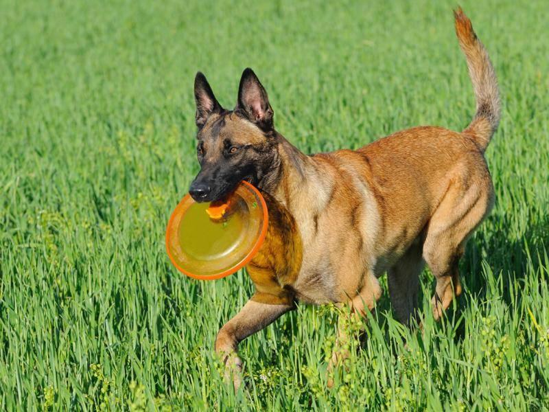 Aber auch größere Rassen wie der Belgische Schäferhund können kinderliebe Familientiere sein – Bild: Shutterstock / AnetaPics