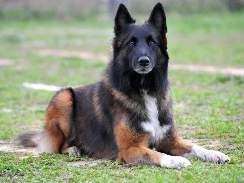 Belgische Schäferhunde werden viel als Arbeitstiere eingesetzt – Bild: Shutterstock / cynoclub