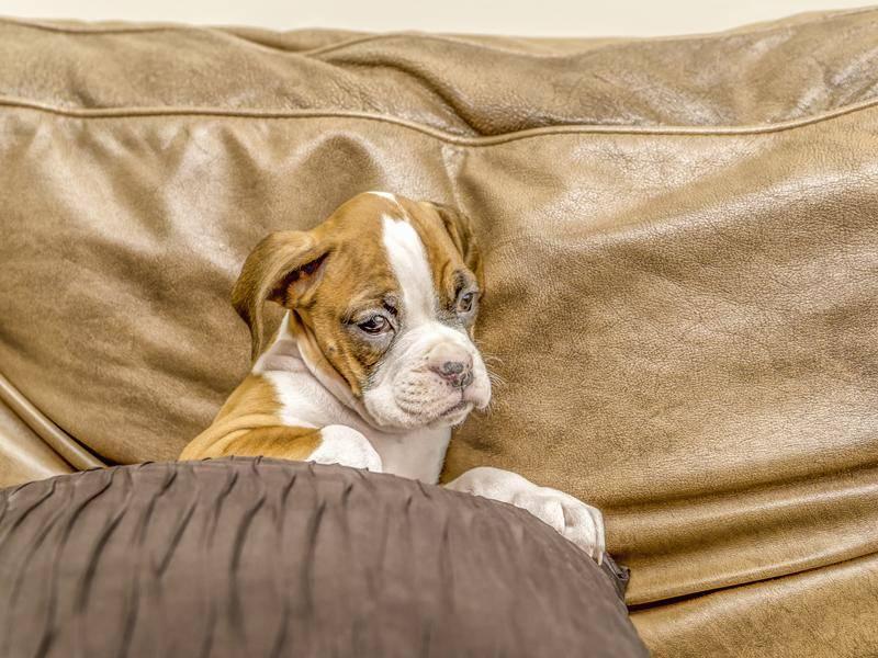 Kuscheln ist für Boxer-Welpen sehr wichtig – Bild: Shutterstock / Tony Moran