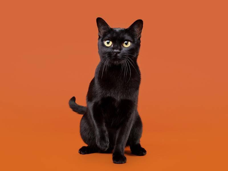 Die Bombay-Katze sieht aus wie ein Mini-Panther – Bild: Shutterstock / dien