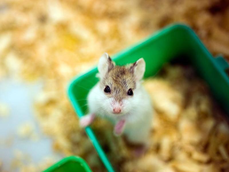Was den Hamster mit seinen Knopfaugen wohl so neugierig macht? – Bild: Shutterstock / hxdbzxy