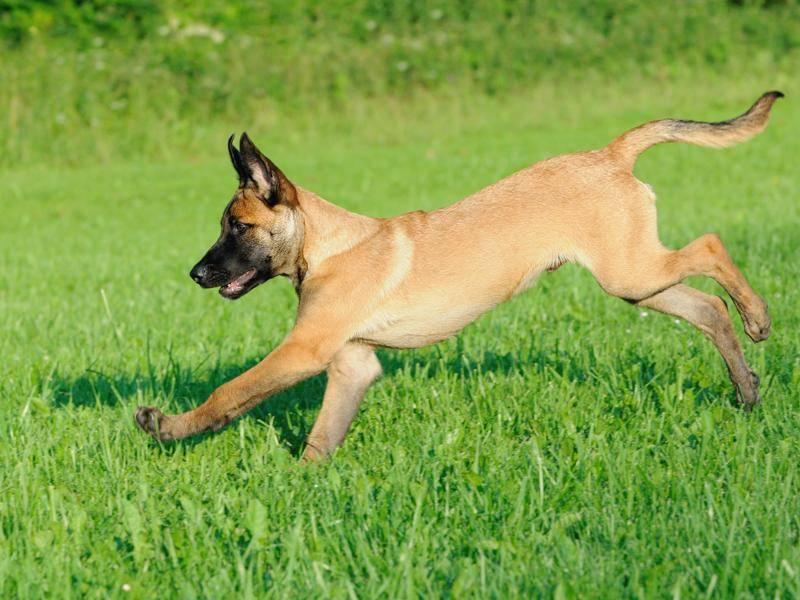 Die bekannteste Art dieser Rasse ist der Malinois, hier als Junghund – Bild: Shutterstock / AnetaPics