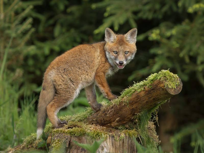 Europäische Rotfüchse wiegen meist zwischen fünf und acht Kilo – Bild: Shutterstock / Neil Burton