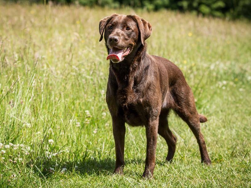 Der schöne Labrador freut sich ebenfalls über Trubel in seiner Umgebung – Bild: Shutterstock / Daz Brown Photography