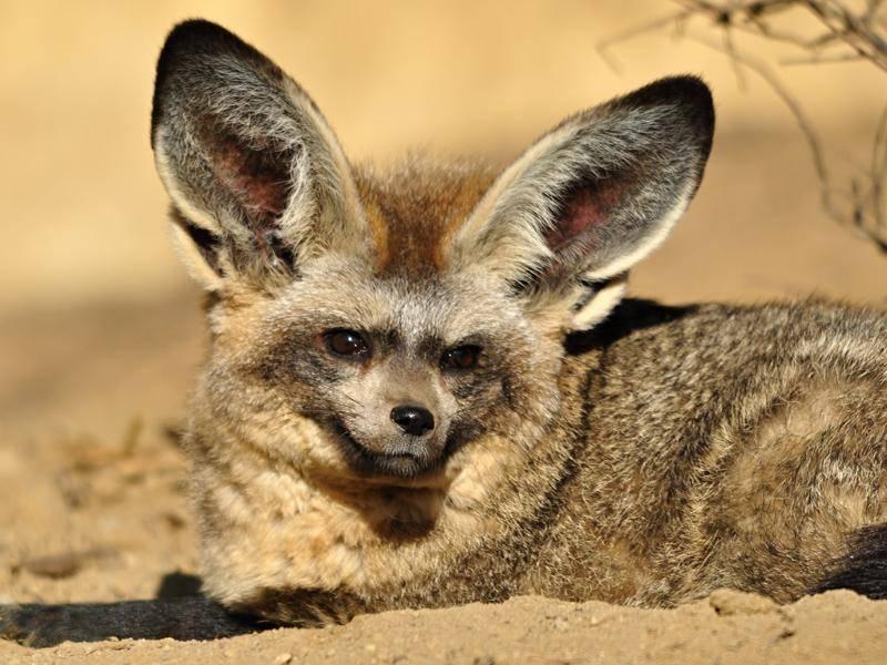 Der Löffelfuchs oder Löffelhund lebt vorwiegend in der afrikanischen Savanne – Bild: Shutterstock / Marek Velechovsky