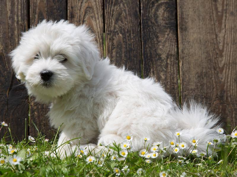 Der kleine Malteser ist ein sehr freundlicher Hund, der sich gut mit Kindern versteht – Bild: Shutterstock / Jeanette Dietl