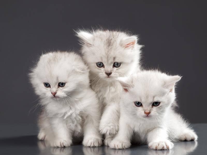 Die flauschige Perser ist als Kitten besonders süß – Bild: Shutterstock / Wallenrock