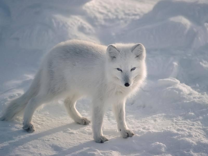Der weiße Vierbeiner ist vor allem in arktischen Gebieten zu finden – Bild: Shutterstock / outdoorsman
