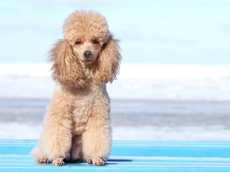 Ebenso sein Verwandter, der Lockenkopf Pudel – Bild: Shutterstock / VitCOM-Photo