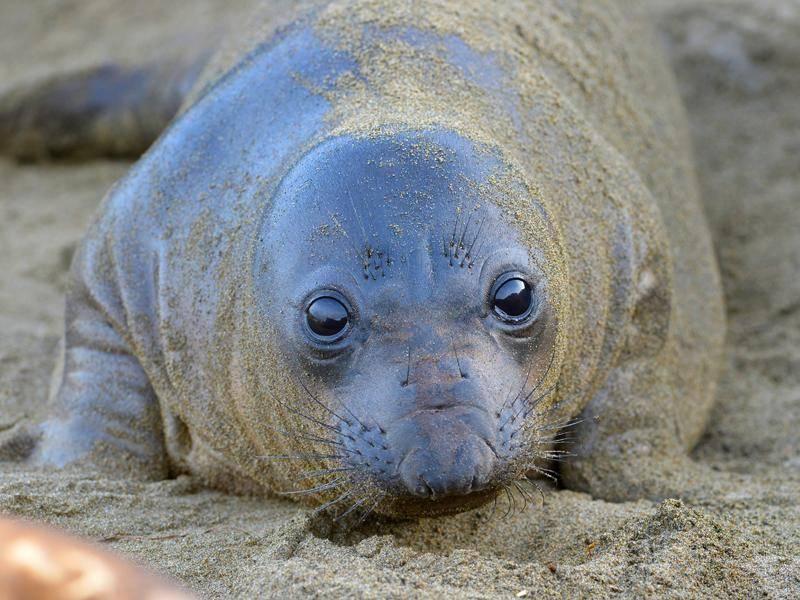 Dieses Robbenbaby scheint den Hundeblick besser verinnerlicht zu haben als so mancher Welpe – Bild: Shutterstock / worldswildlifewonders