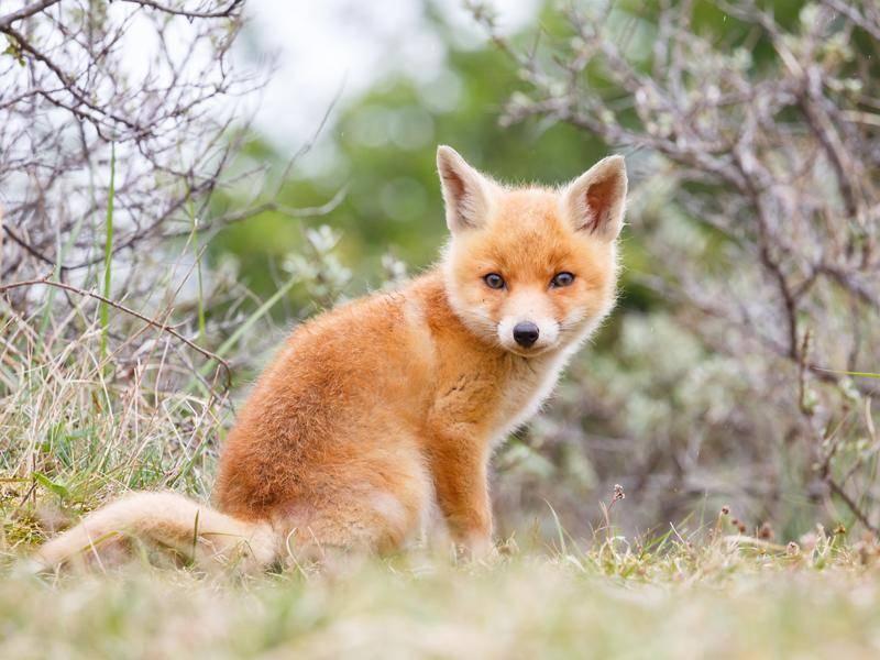 Hier ist der Waldbewohner schon etwas größer – Bild: Shutterstock / Pim Leijen
