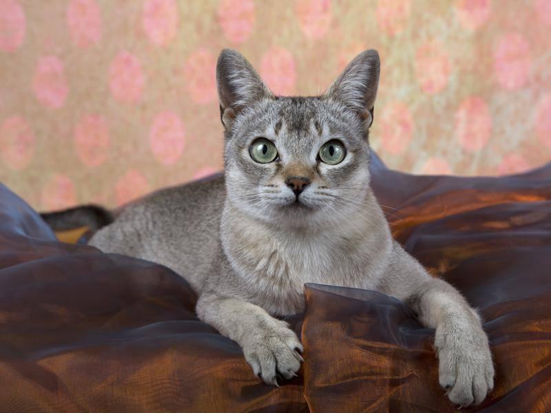 Die süße Singapura gehört zu den kleinsten Katzenrassen der Welt – Bild: Shutterstock / Jenny Ferreira