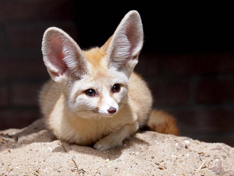 Der Wüstenfuchs schaut sich erst mal vorsichtig um – Bild: Shutterstock / EBFoto