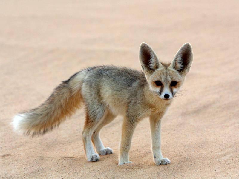 Dieser Wüstenfuchs stammt aus der ägyptischen Sahara – Bild: Shutterstock / Cat Downie