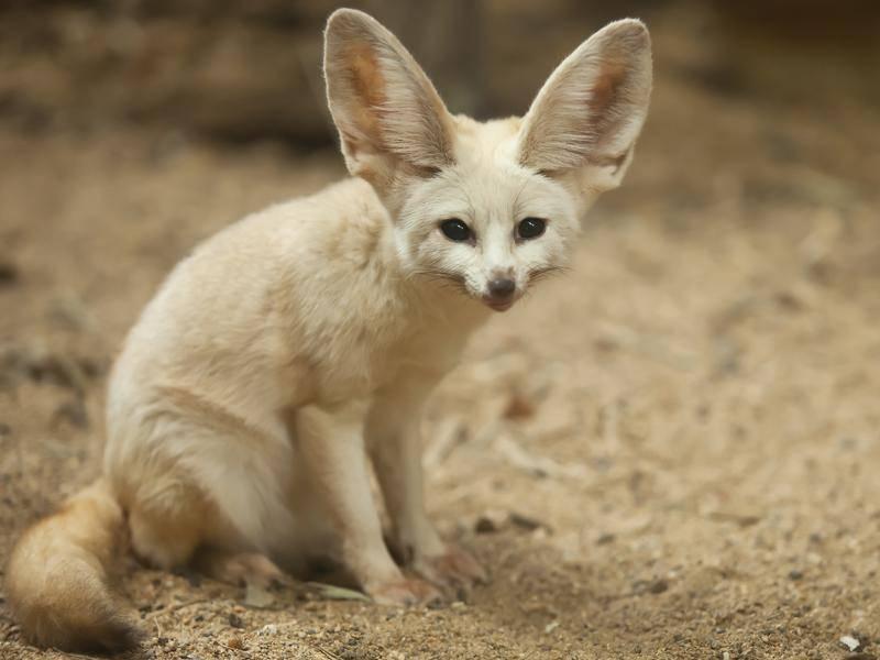 Der Wüstenfuchs wird auch Fennek genannt – Bild: Shutterstock / nattanan726