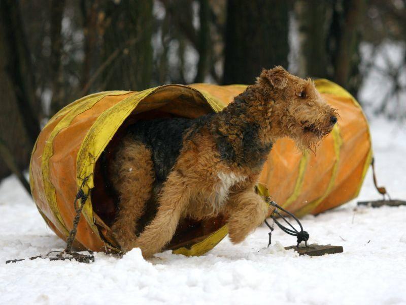 Hunde dieser Rasse sind sportlich und sehr lebhaft – Bild: Shutterstock / Utekhina Anna