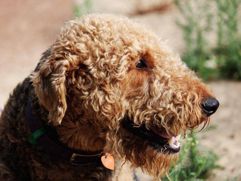 Kopf und Beine des Hundes sind lohfarben, der Rücken und die Flanken meist schwarz oder dunkelgrau – Bild: Shutterstock / alybaba