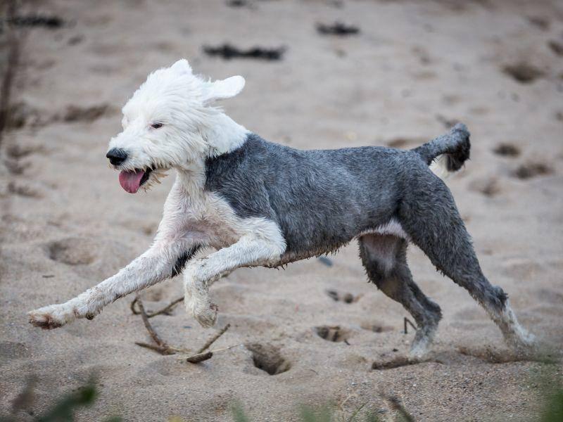 Ist er geschoren, erkennt man den Bobtail kaum wieder – Bild: Shutterstock / Daz Brown Photography
