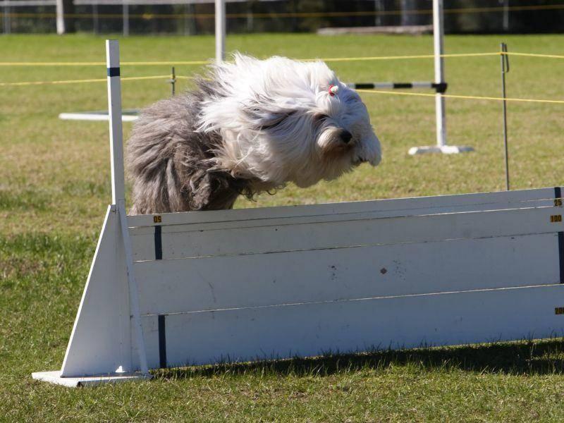 Agility eignet sich gut für den klugen, bewegungsfreudigen Hund – Bild: Shutterstock / Nicholas Rjabow