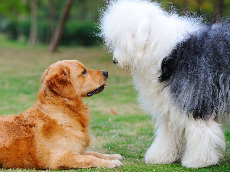 Der Bobtail ist ein mutiger, aber sanftmütiger Hund – Bild: Shutterstock / Raywoo