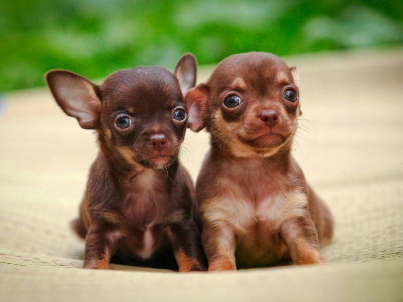 Baby-Chihuahuas auf Tour – Bild: Shutterstock / dezi