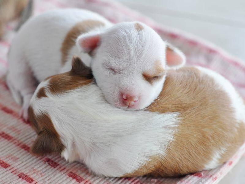 """Kuschelzeit! Die letzten zwei Chihuahua-Welpen in unserer Runde sagen """"Gute Nacht!"""" – Bild: Shutterstock / Napatsan Puakpong"""
