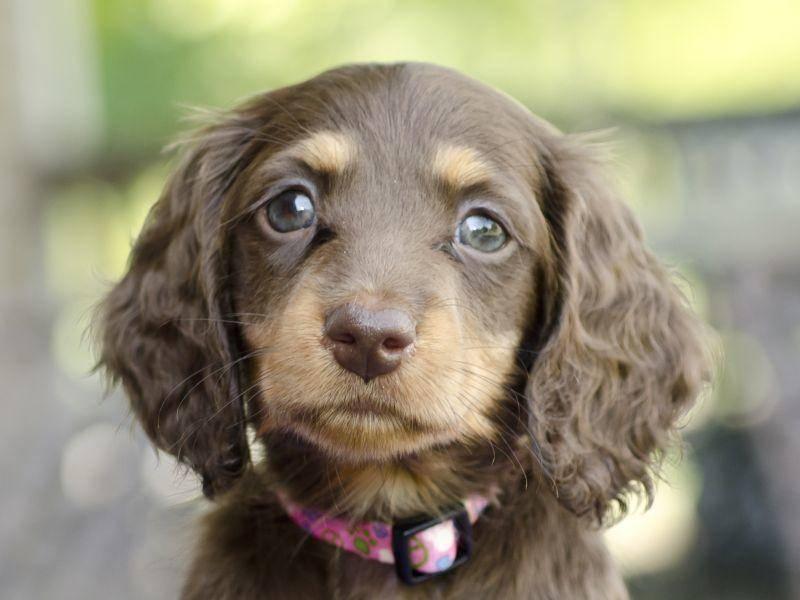 Dieser kleine Dackel könnte den Hundeblick erfunden haben – Bild: Shutterstock / Annmarie Young