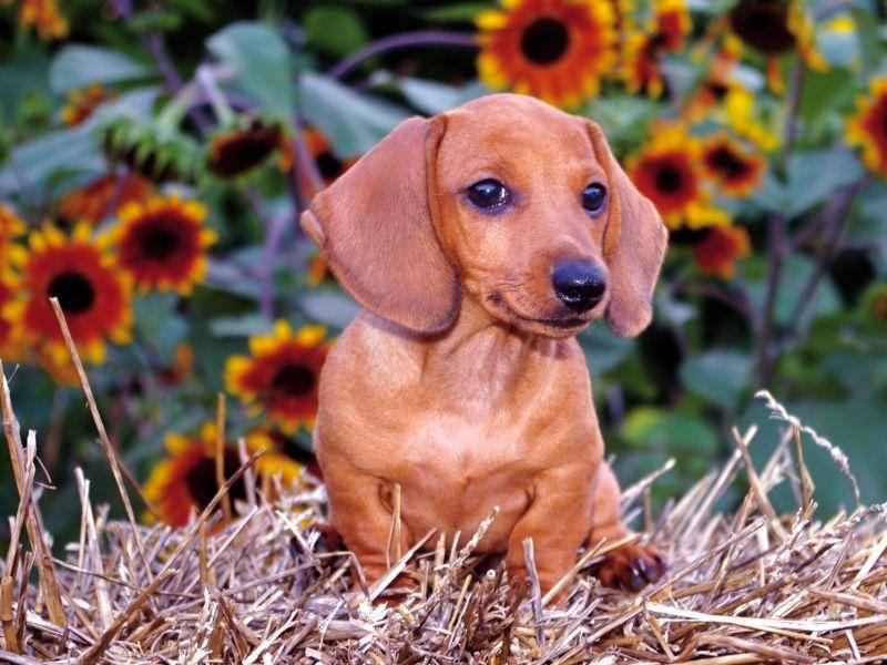 """""""Draußen sein, das ist schön!"""", findet dieser junge Kurzhaardackel – Bild: Shutterstock / Donna Hayden"""