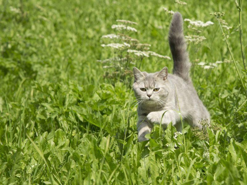Im hohen Gras rennt es sich doch am besten, findet diese schöne Katze – Bild: Shutterstock / Nicole Hollenstein
