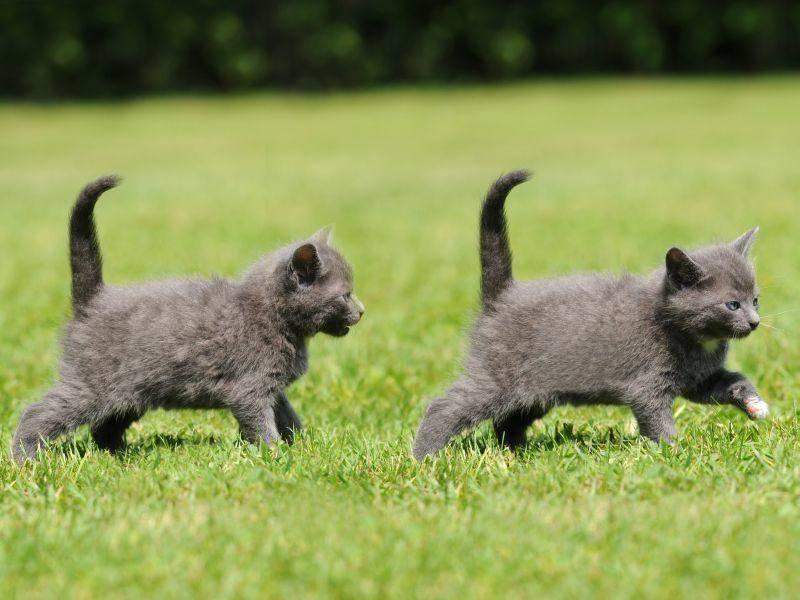 Kleines Wettrennen unter Katzengeschwistern – Bild: Shutterstock / Schubbel