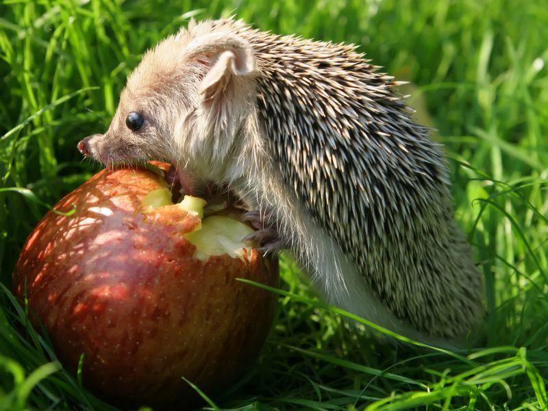 Dieser kleine Igel freut sich: Er hat einen ganzen Apfel gefunden! – Bild: Shutterstock / Shironina