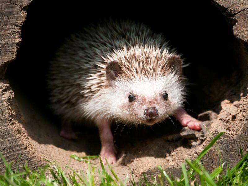 Und auch in einer gemütlichen Höhle fühlen sich Igel wohl – Bild: Shutterstock / Zorandim