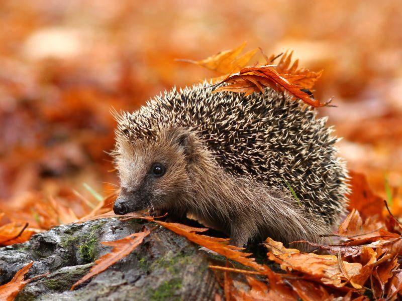 Zeit für einen kleinen Herbstspaziergang, findet dieser süße Igel! – Bild: Shutterstock / Miroslav Hlavko