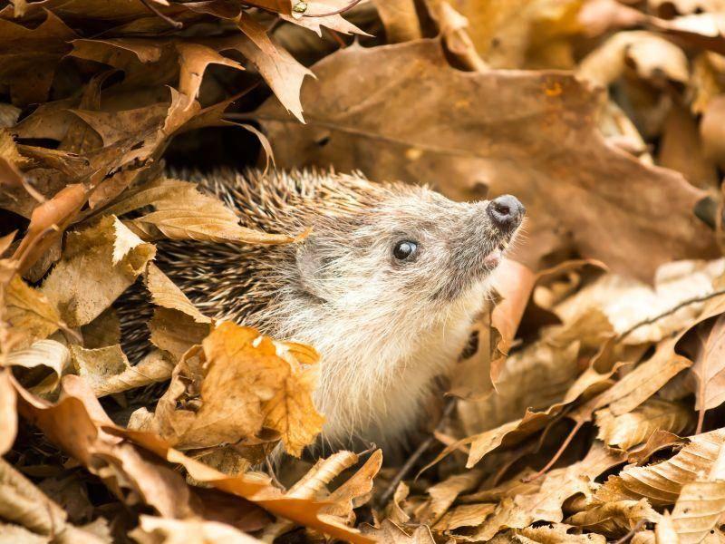 Schön warm und schützend: Laubhaufen eignen sich gut für den Igel-Winterschlaf – Bild: Shutterstock / kospet