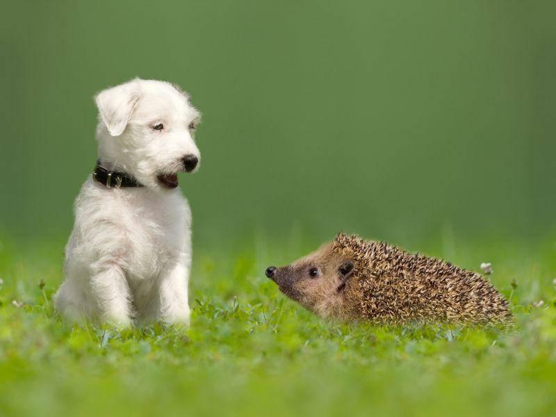 Hund und Igel: Bei der ersten Begegnung wundern sich beide – Bild: Shutterstock / Leoba