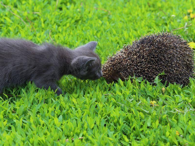 """""""Nanu, was ist das denn?"""" Diese junge Katze hat noch nie einen Igel gesehen – Bild: Shutterstock / Grigorii-Pisotsckii"""