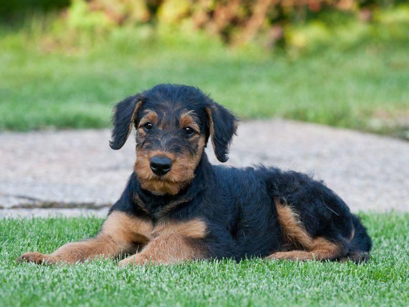 So sieht der beliebte Terrier in klein aus – Bild: Shutterstock / Lenkadan