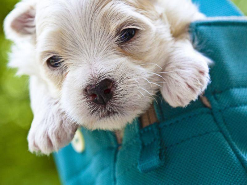 Dieser kleine Malteser-Welpe sitzt in der Tasche und genießt die Aussicht – Bild: Shutterstock / TheLionRoar