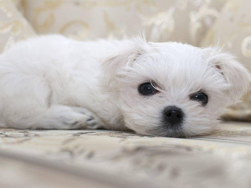 Zwischendurch muss sich so ein Malteser-Welpe auch mal ausruhen! – Bild: Shutterstock / Larysa Snigireva