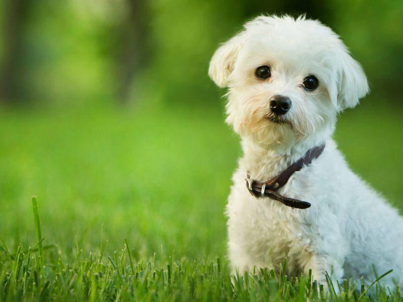 Viel Spaß beim Spaziergang, kleiner Malteser-Welpe – Bild: Shutterstock / Mary Rice