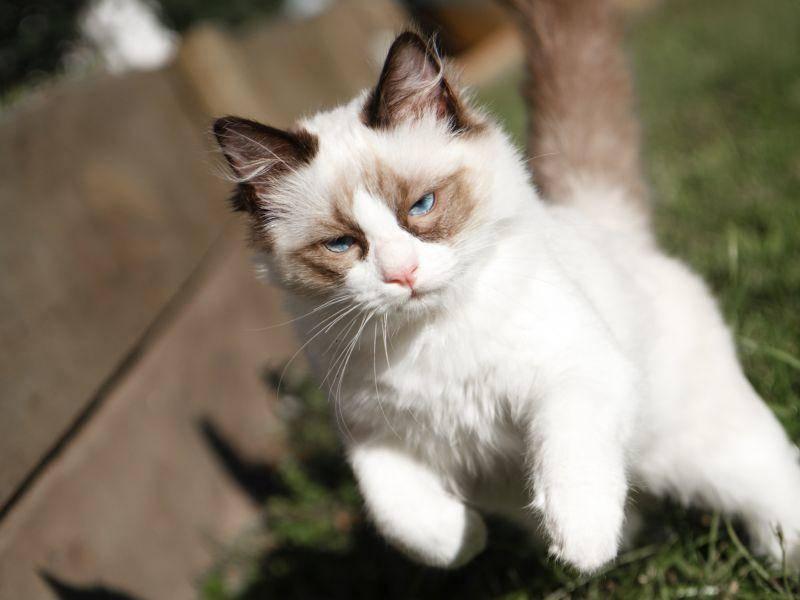 Die Ragdoll ist eine ruhige, gemütliche Katze, aber kann auch mal ordentlich rennen – Bild: Shutterstock / Silken Photography