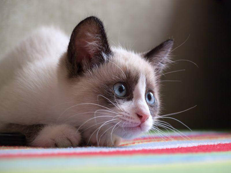 Vertreter dieser Katzenrasse sind meist verspielt, verschmust und ausgeglichen – Bild: Shutterstock / A. Vasilyev