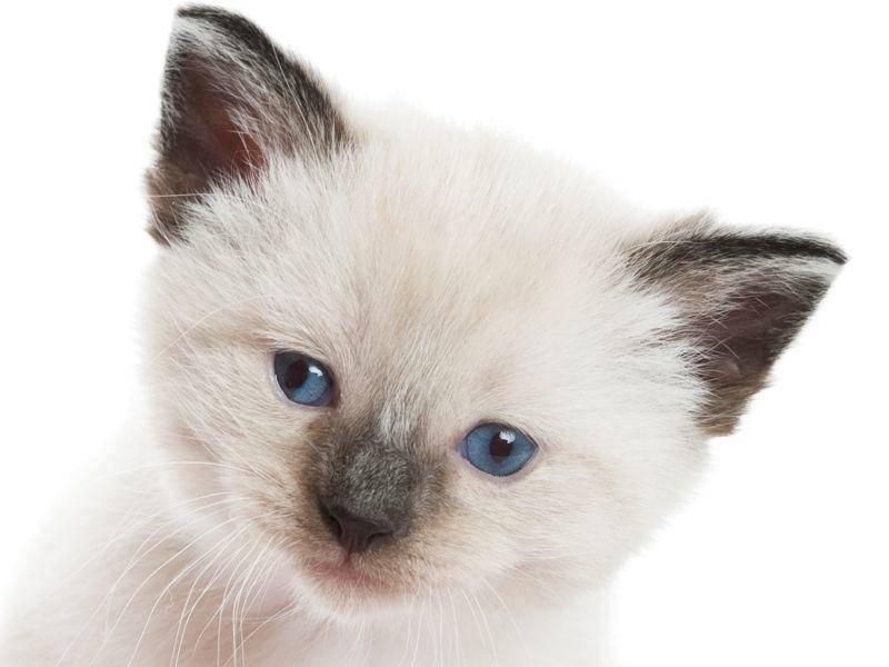 Schöne blaue Katzenaugen sind typisch für die Snowshoe – Bild: Shutterstock / Brenda Carson