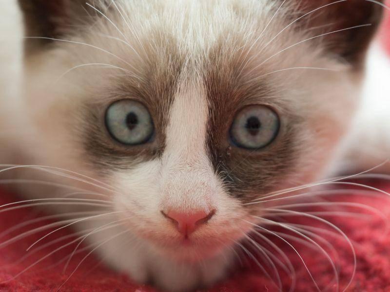 Die verschmuste Katze sollte im Doppelpack gehalten werden und viele Spiel- und Klettermöglichkeiten haben – Bild: Shutterstock / A. Vasilyev