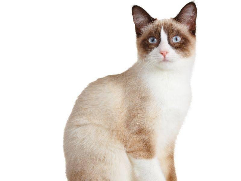 Die elegante, aber muskulöse Katze wird ausgewachsen zwischen drei und fünf Kilogramm schwer – Bild: Shutterstock / Sukharevskyy Dmytro nevodka