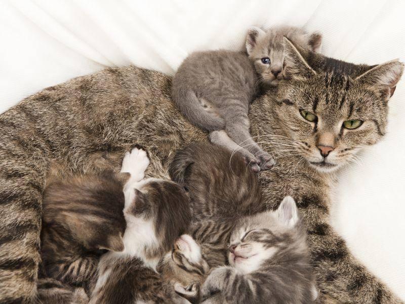 Diese Katzenmama muss auf eine ganze Menge Katzenbabys aufpassen – Bild: Shutterstock / Purple Queue