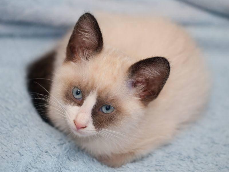 Die Snowshoe: Eine hübsche Katze, oder? – Bild: Shutterstock / A. Vasilyev