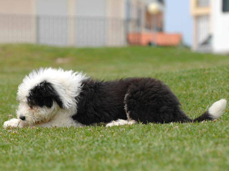 Das Fell dieses süßen Junghunds wird seine volle Länge noch erreichen – Bild: Shutterstock / Pedro-Monteiro