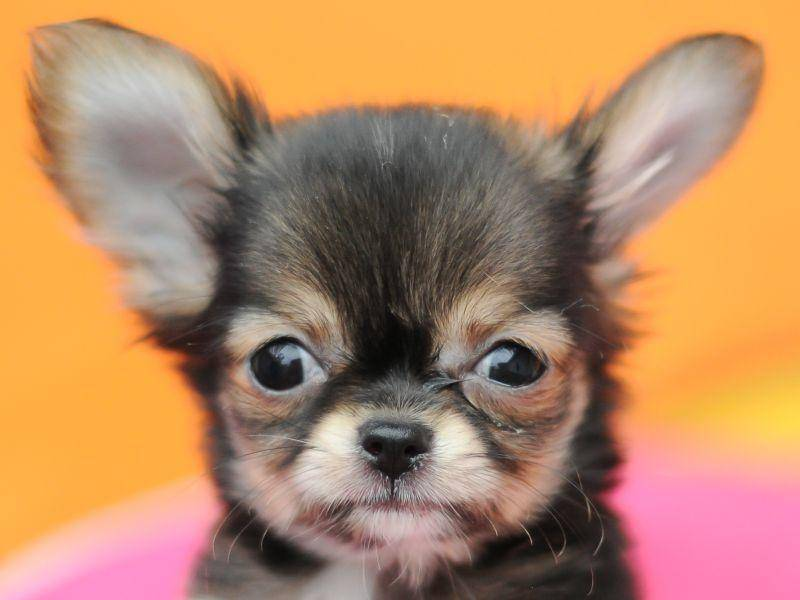Große Äuglein, große Ohren: Dieser Chihuahua-Welpe ist wirklich süß – Bild: Shutterstock / tulpahn1