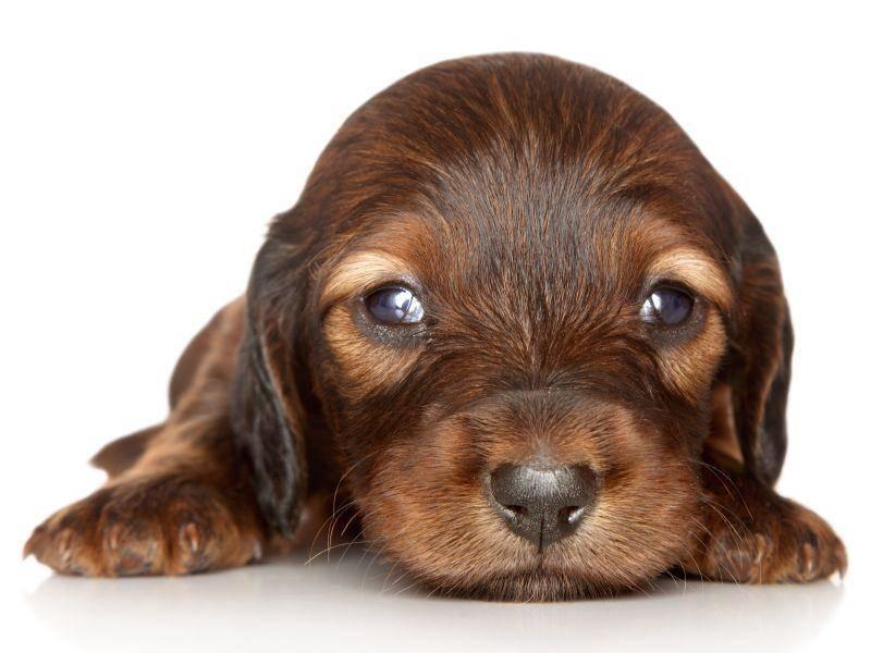 So ein kleiner Dackel, so große Augen! – Bild: Shutterstock / Jagodka
